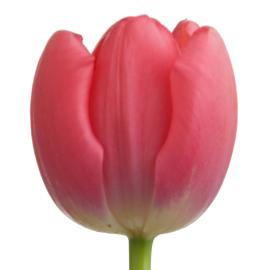 Tulip Pink Impression Flower