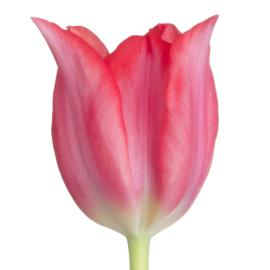 Tulip Pretty Woman Flower