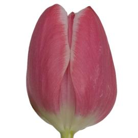 Tulip Princess Victoria Flower