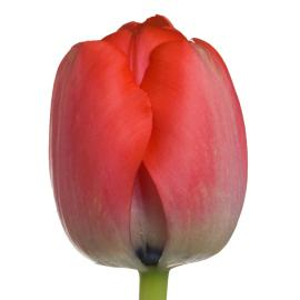 Tulip Redwood Grove French Red Pride Flower