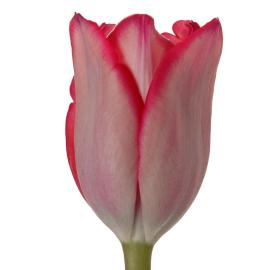 Tulip Rousillion Flower
