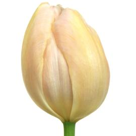 Tulip Redwood Grove French Apricot Pride Flower