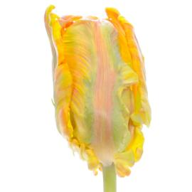 Tulip Fancy blumex parrot flower