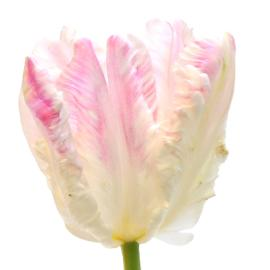 Cabana Fancy Parrot Flower Tulip