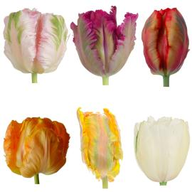 Fancy Tulips Mixed Varities
