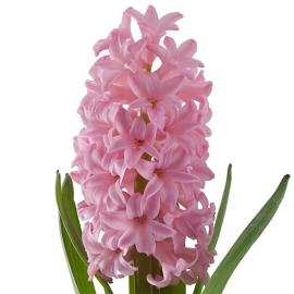 Hyacinth Anne Marie Flower