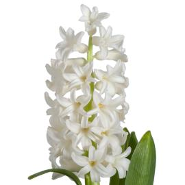 Hyacinth Anartica Flower