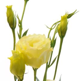 Lisianthus cream flower