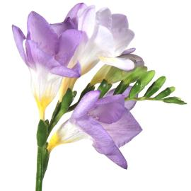 Freesia Delta River Flower