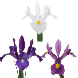 Iris Mix 10 Pack 100 Stem Mix Flower