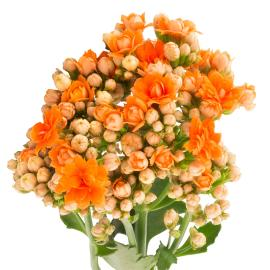 Kalanchoe Warm Orange flower