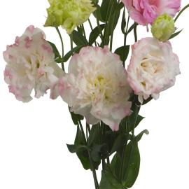 Bi-color pink white lisianthus flower