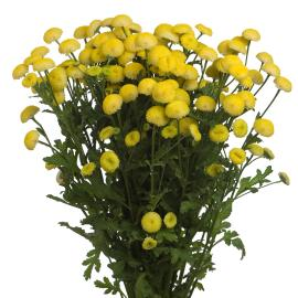Matricaria Yellow Button Flower