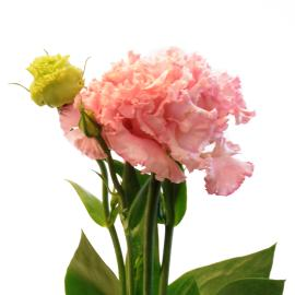 Voyage Light Pink Lisianthus buy wholesale flower
