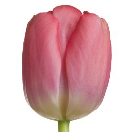 Tulip Redwood Grove French Pink Pride Flower