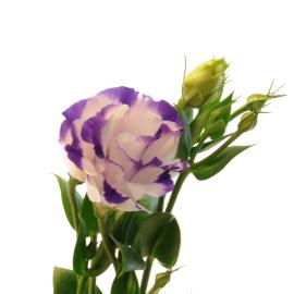 Purple and white Bi-color lisianthus Flower