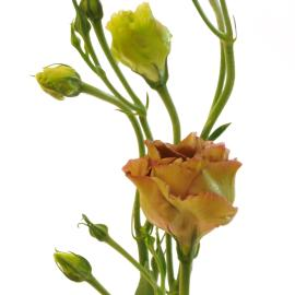 Roseanne Brown Lisianthus