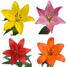 Royal Lily Mixed Colours