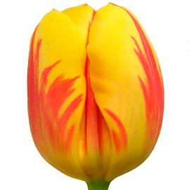 Tulip Stripped Bellona Flower