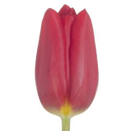 Tulip Strong Love Flower wholesale buy