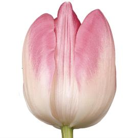 Tulip double Upstar flower
