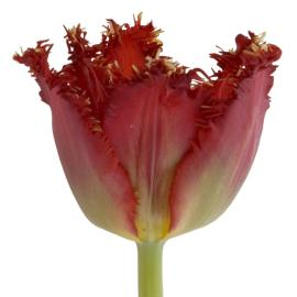 Tulip Fancy Valery Gregiev Flower
