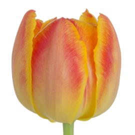 Tulip Double Viking Flower