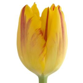 Tulip washington flower