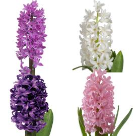 5 Pack Sun Valley Hyacinth