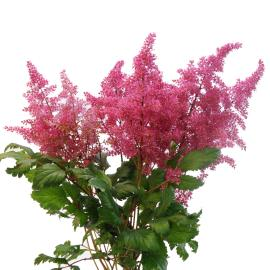 Dark Pink Astilbe Flower bunch