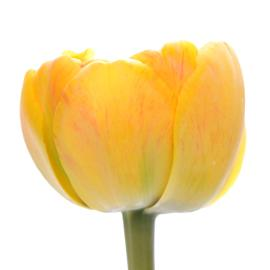 Double Tulip  Yellow pomponette flower