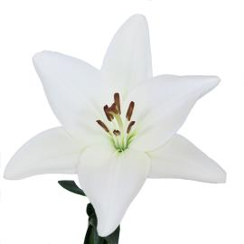 Albidona Royal white Lily