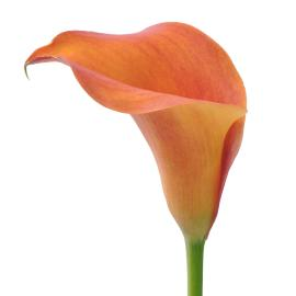 Buy captain odean zantedeschia orange flower