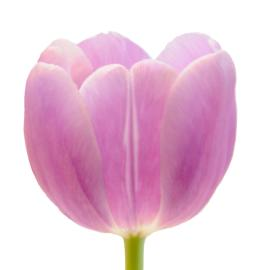 Tulip Purple Lord Flower