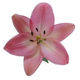 Albuferia Royal Lily Flower Buy wholesale