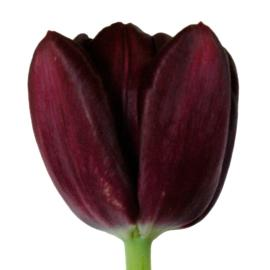 Black Jack Standard Purple tulip