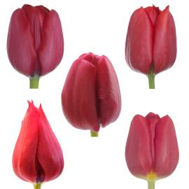 Red Tulip mixed wholesale box