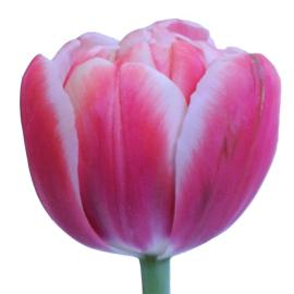 Voicemail double tulip wholesale flower