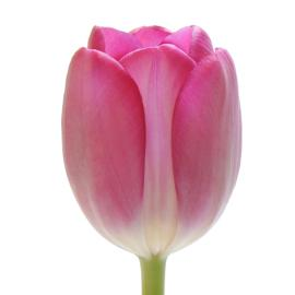 Standard Tulip Anaconda Whole sale flower