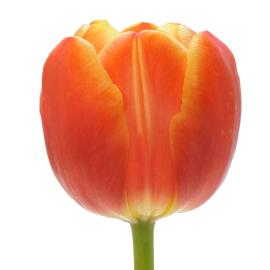 Standard tulip esta bontia flower whole sale buy