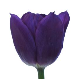 Lie Burman purple tulip vwholesale