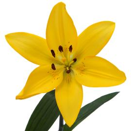 Tenno  wholesale Royal Lily