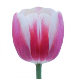 Timeless standard wholesale tulip