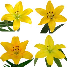 Royal Lily Mixed box yellow flower