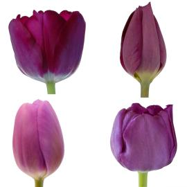 Assorted Purple Tulips mixed wholesale spring easter box