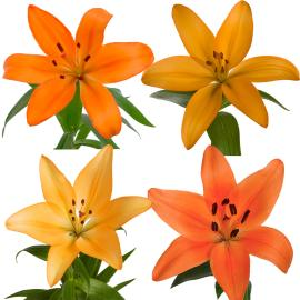 Royal Lily Orange box Wholesale buy spring