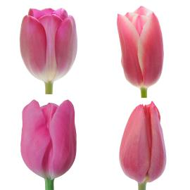 Dark Pink Tulips, standard assorted wholesale box
