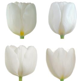 Tulip standard White wholesale Easter buy flower box