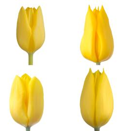 yellow tulips assorted mixed easter wholesale buy box