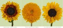 Sunflower Multiple